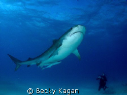 14 foot Tiger shark checks out a diver off the West End o... by Becky Kagan 